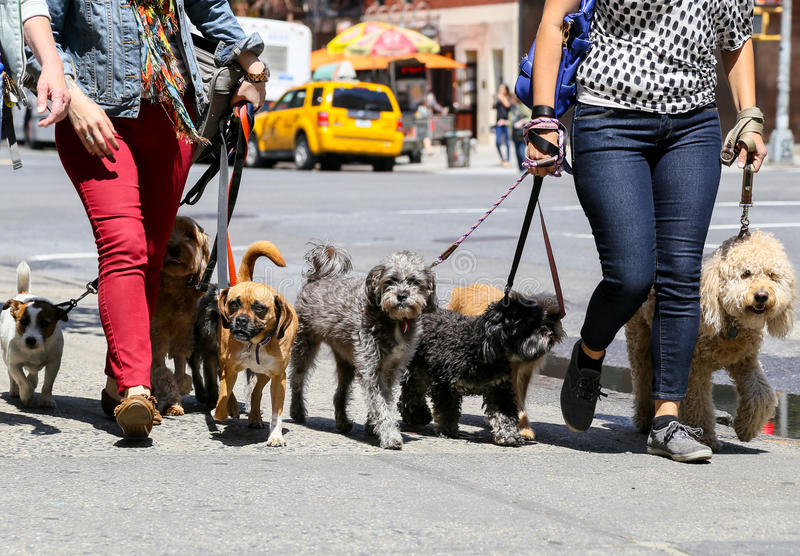Het lopen van de honden in NY royalty-vrije stock foto