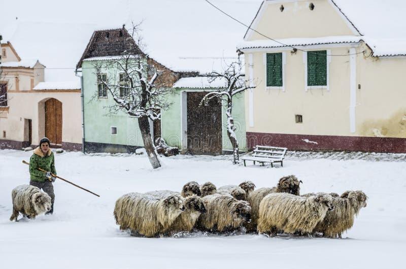Het lopen van de schapen aan een veilige plaats, Viscri, Roemenië stock foto