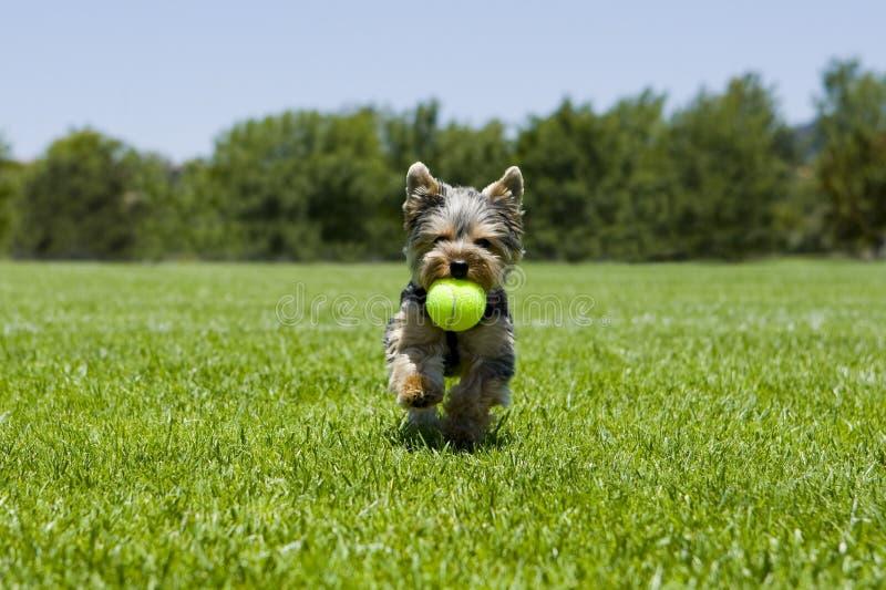 Het lopen van het puppy stock foto's