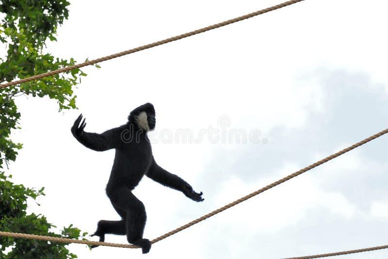 Het Lopen van het Strakke koord van de Aap van de gibbon stock foto