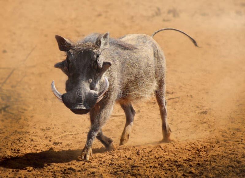 Het Lopen van het wrattenzwijn stock foto's