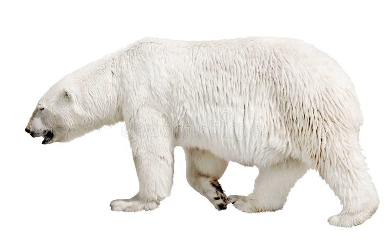 Het lopen van ijsbeer op wit royalty-vrije stock foto's
