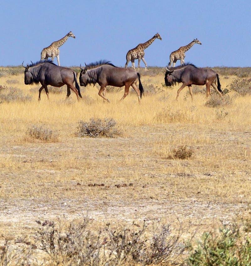 3 het lopen van het meest wildebeest en 3 giraffen in een ongebruikelijke samenstelling stock fotografie