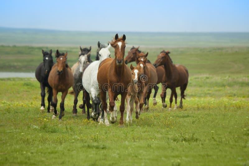 Het Lopen van paarden stock foto's