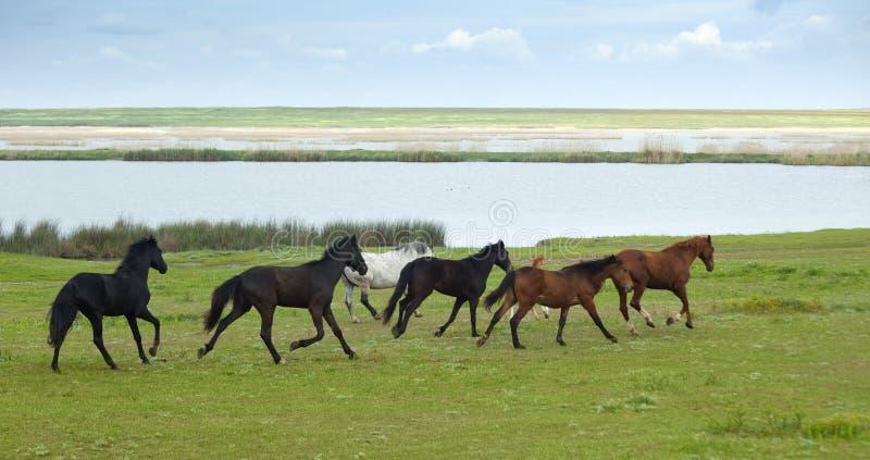 Het Lopen van paarden stock afbeeldingen