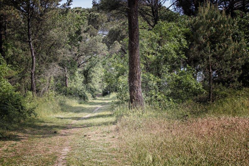 Het lopen van weg in het dennenbosbos dichtbij Marina Romea royalty-vrije stock fotografie