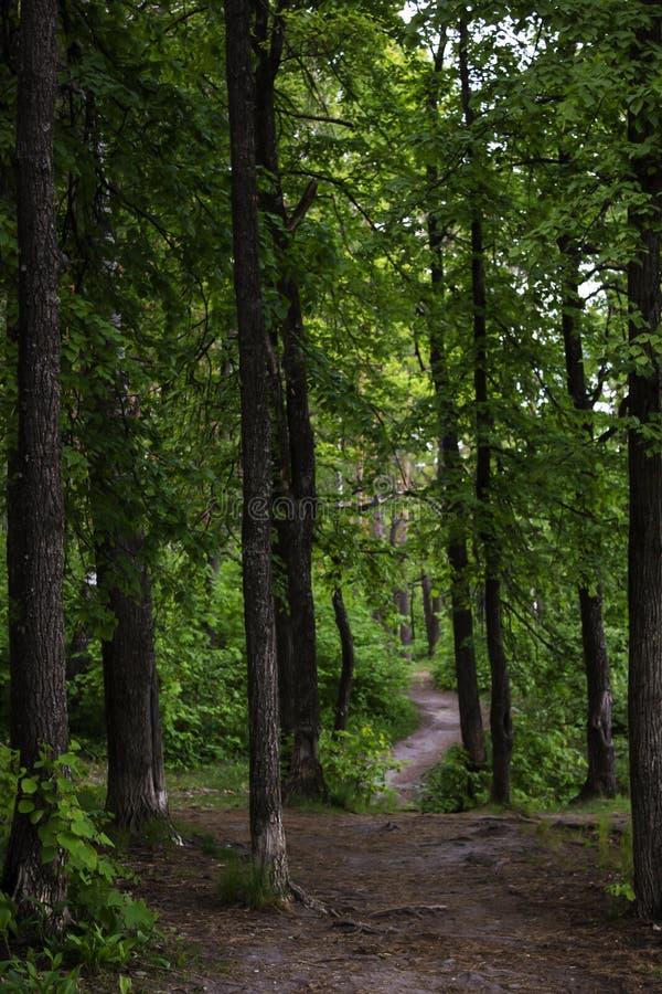 Het lopen van weg in het naald-vergankelijke bos stock foto
