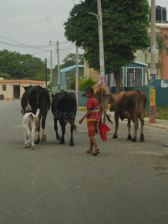 Het lopen van Zijn Koeien in het Land royalty-vrije stock fotografie
