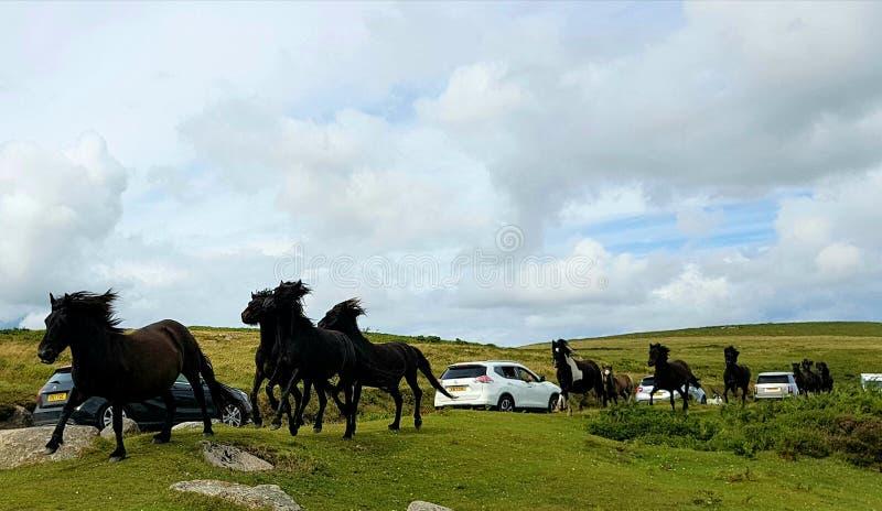 Het lopen wilde dartmoor ponys stock afbeelding