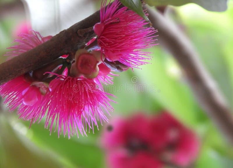 Het Loquatfruit bloeit de bloemen hoog mooie roze achtergrond van het klokfruit - kwaliteitsbehang stock foto's