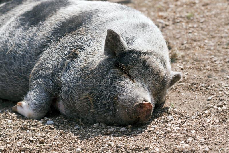 Het luie varken liggen stock afbeeldingen