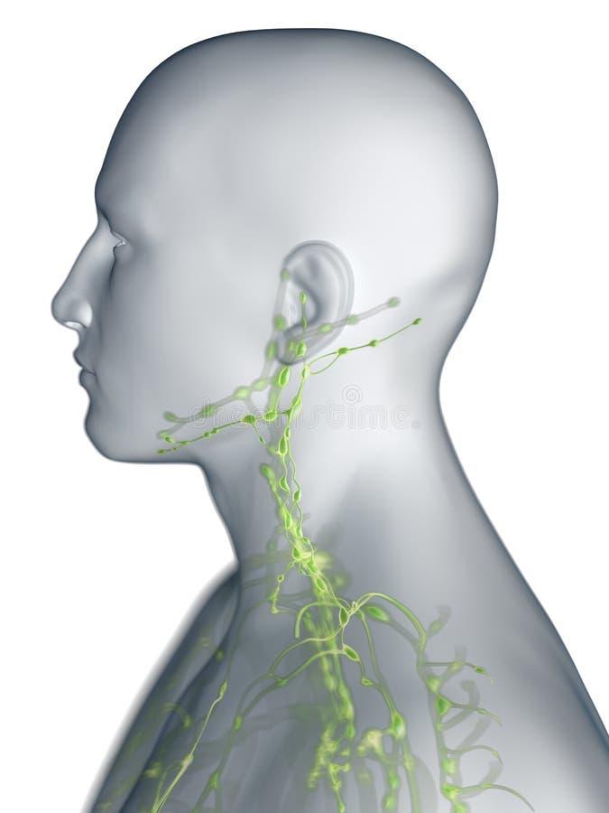 Het lymfatische systeem van de hals royalty-vrije illustratie