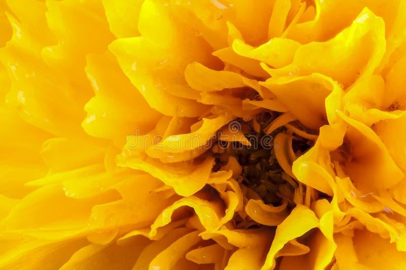 Het macrohoofd van de coreopsis gele bloem stock afbeeldingen