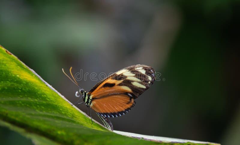 Het macroinsect van het vlinderregenwoud widlife stock foto's