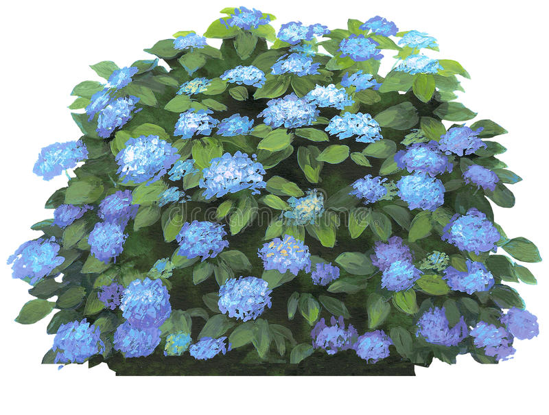 Het macrophilla-blauw van de hydrangea hortensia stock afbeelding