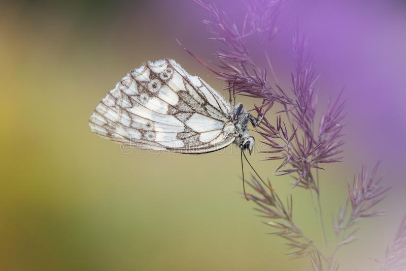Het macroschot van vlinder marmerde witte Melanargia-galathea op het gras stock afbeelding