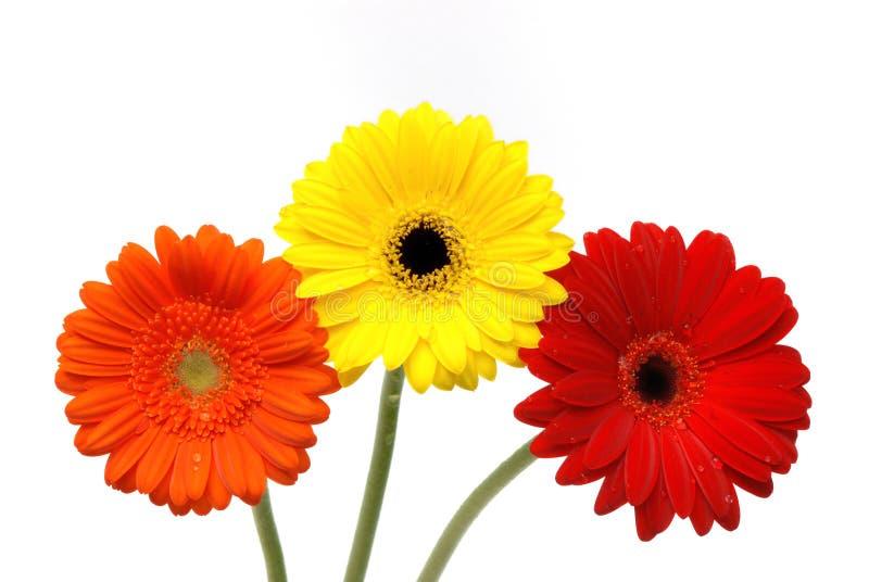 Het madeliefjebloemen van Gerber die op wit worden geïsoleerdk stock foto