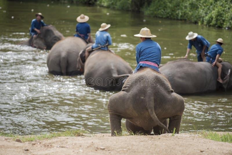Het Mahoutsbad en maakt de olifanten in de rivier schoon stock afbeelding