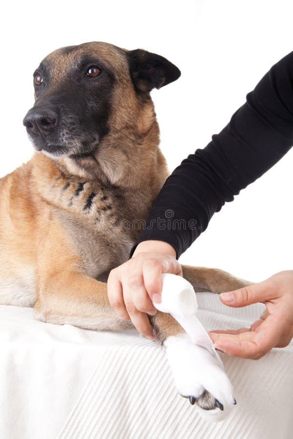 Het maken van een pootverband. Eerste hulp op een hond. royalty-vrije stock afbeeldingen