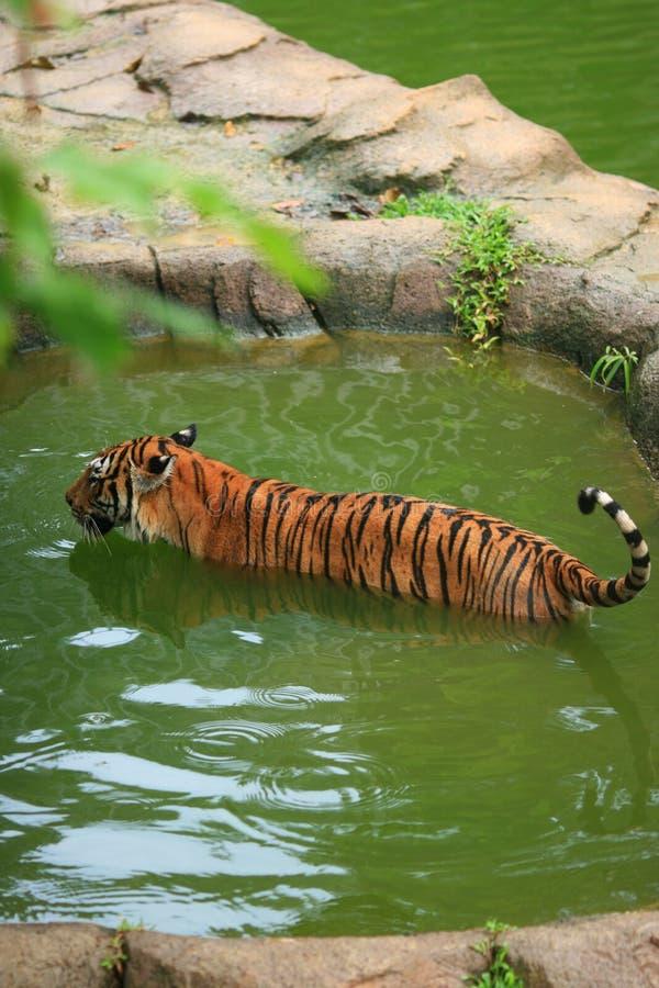 Maleis Tiger Bathing royalty-vrije stock afbeelding