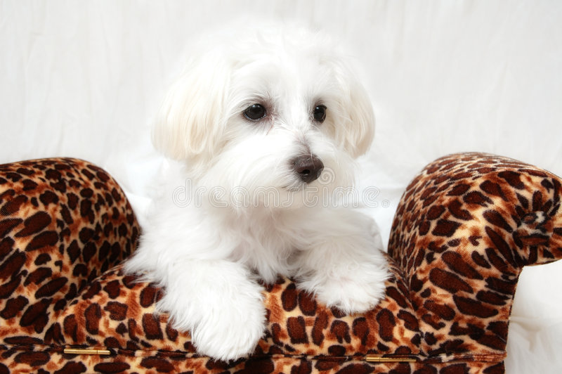 Het Maltese Portret van het Puppy royalty-vrije stock afbeeldingen