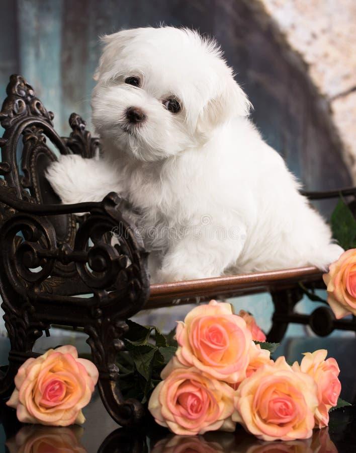 Het Maltese puppy zit op donkere achtergrond Knippend inbegrepen weg stock afbeeldingen