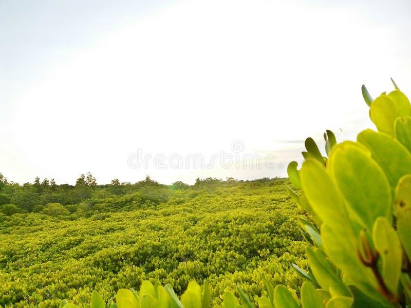 Het mangrovebos stock afbeeldingen