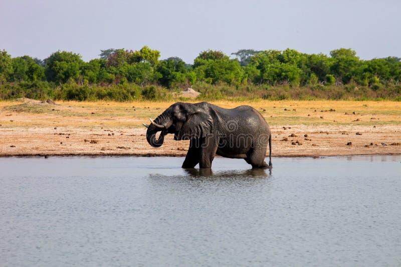 Het mannelijke Afrikaanse olifant drinken in een waterhole Hwange, Zimbabwe royalty-vrije stock afbeelding