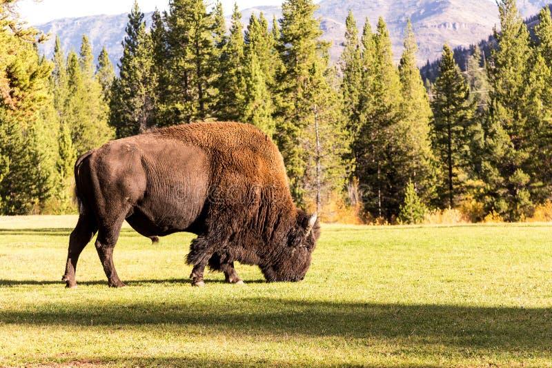 Het mannelijke bizonbuffels weiden stock foto