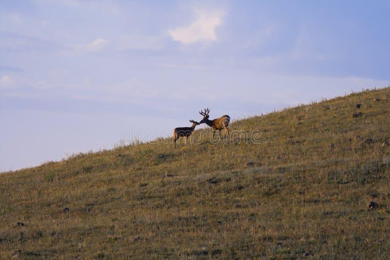 Het mannelijke en Vrouwelijke Elanden Kussen stock fotografie