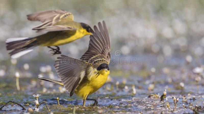 Het mannelijke Gele Kwikstaarten Vechten stock foto's