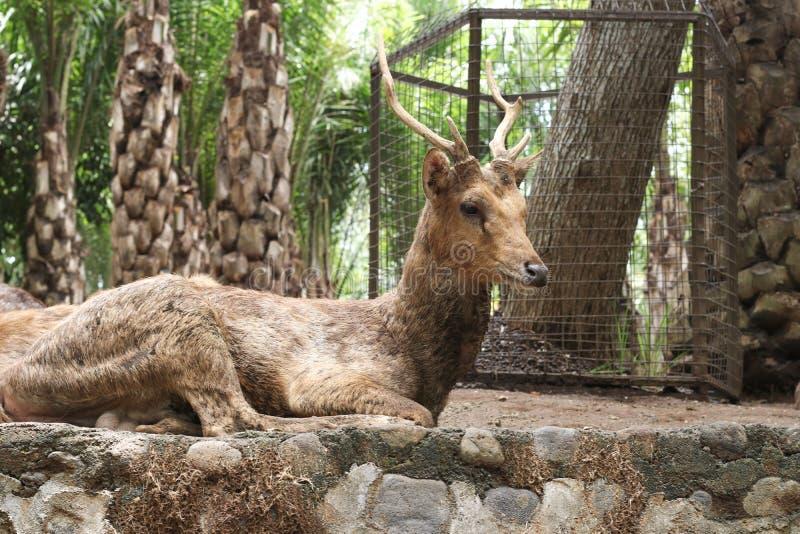 Het mannelijke hert ligt op de grond in een Dierentuin van Bali, Indonesië royalty-vrije stock fotografie