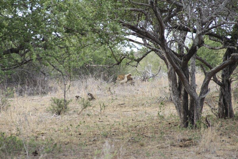 Het mannelijke leeuw verbergen in de Afrikaanse savannestruik, het Nationale Park Zuid-Afrika van Kruger royalty-vrije stock afbeeldingen