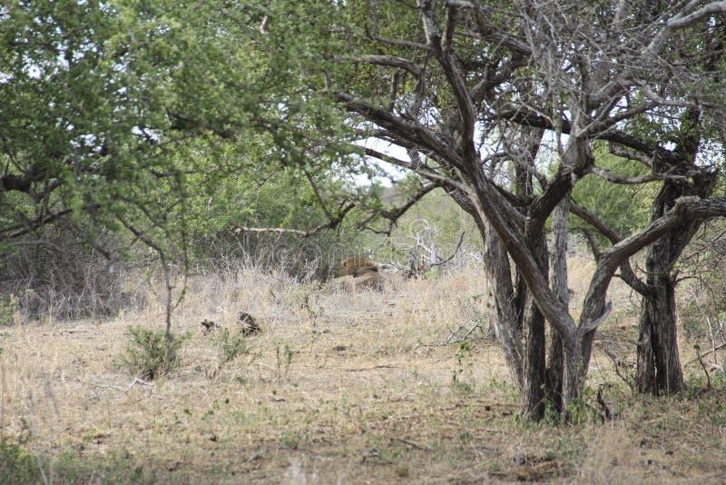 Het mannelijke leeuw verbergen in de Afrikaanse savannestruik, het Nationale Park Zuid-Afrika van Kruger royalty-vrije stock fotografie