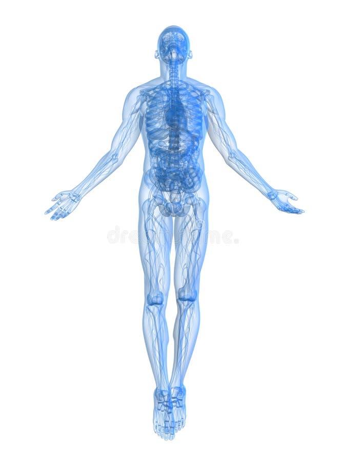 Het mannelijke lichaam toenemen stock illustratie