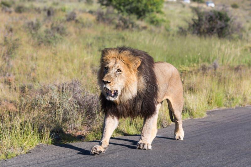 Het mannelijke Lopen van de Leeuw royalty-vrije stock afbeeldingen