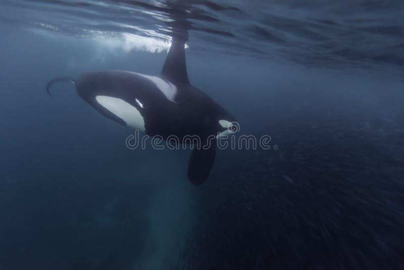 Het mannelijke orka voeden royalty-vrije stock fotografie