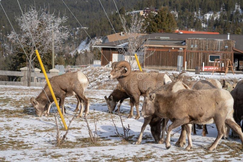 Het mannelijke Rams bighorn schaap houdt een oog over de kudde van ooien weg aangezien zij door stad - de Radium Hete Lentes, BC  stock afbeelding