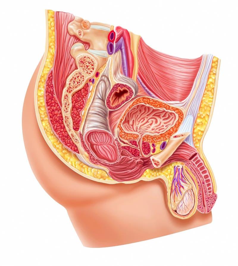 Het mannelijke reproductieve systeem van de anatomie royalty-vrije illustratie