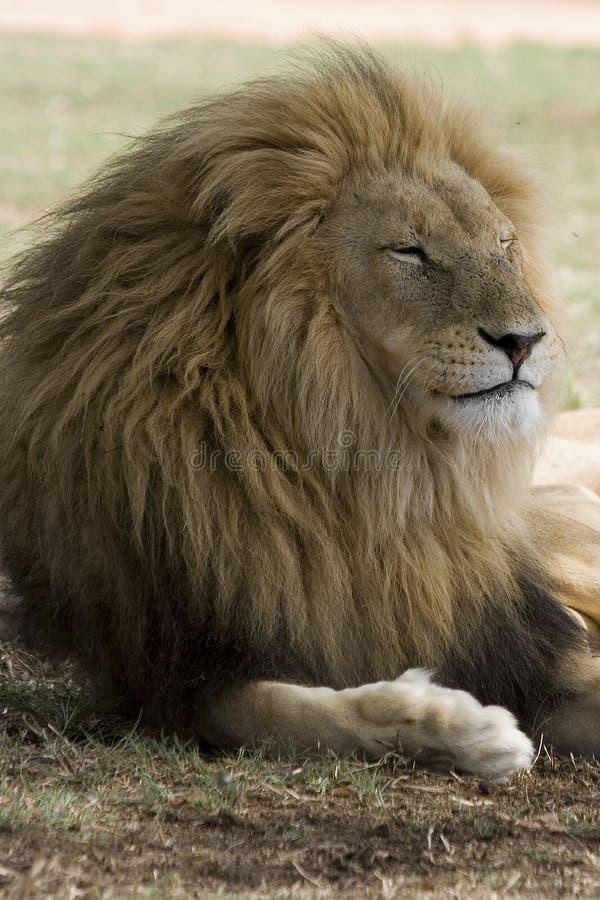 Het mannelijke rusten van de Leeuw stock afbeelding
