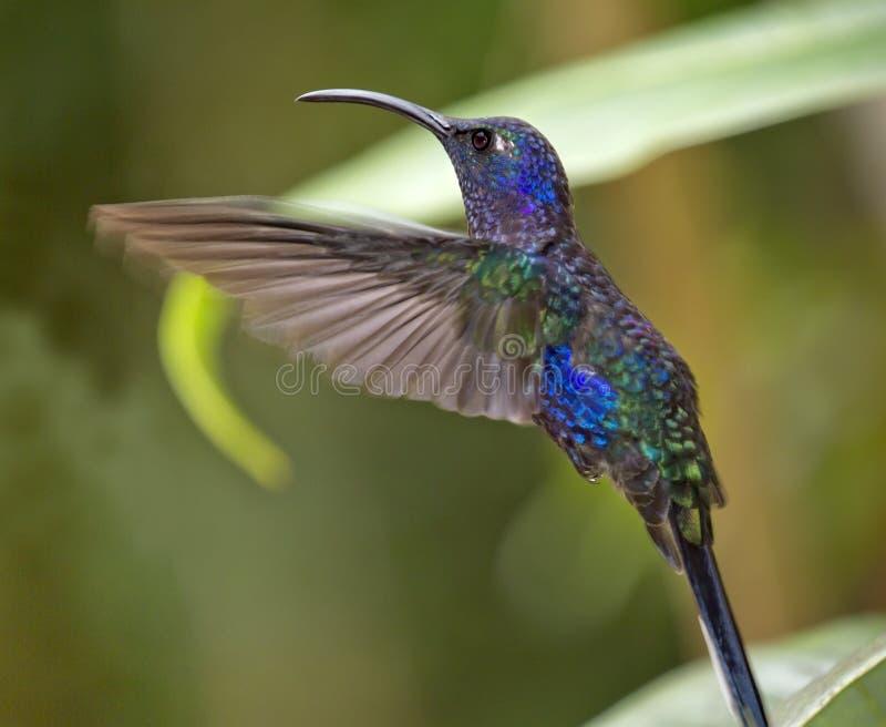 Het mannelijke violette sabrewing stock afbeeldingen