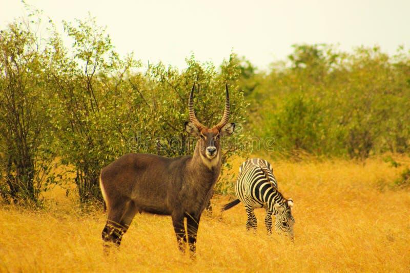 Het mannelijke Waterbuck-Stellen met een Zebra stock fotografie