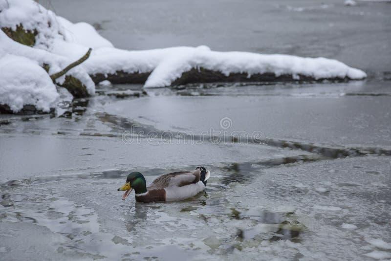 Het mannelijke wilde eendeend spelen, het drijven en het squawking op het parkvijver van de de winterijs bevroren stad royalty-vrije stock foto