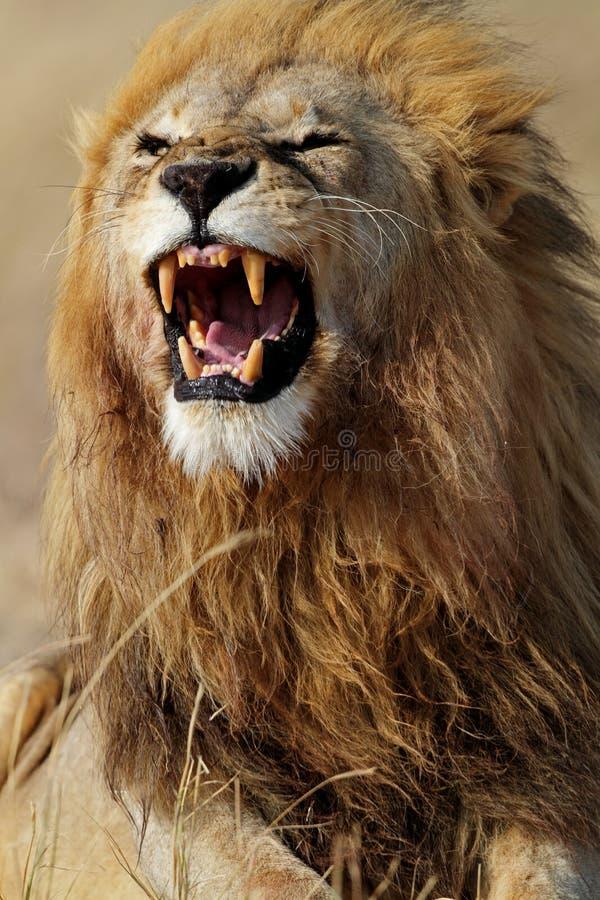 Het mannetje dat van de leeuw tanden, Serengeti toont stock fotografie