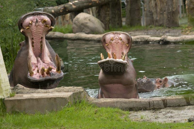 Het mannetje en het wijfje van het nijlpaard met open mond stock foto's