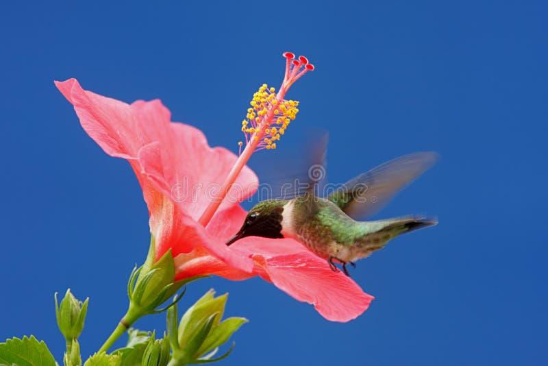 Het mannetje robijnrood-Throated Kolibrie royalty-vrije stock afbeelding
