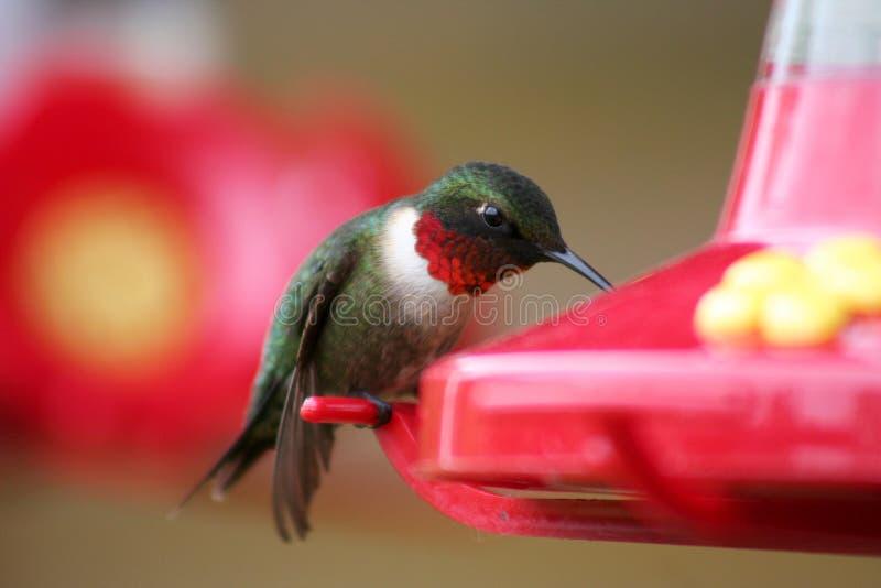 Het mannetje robijnrood-Throated Kolibrie bij Voeder royalty-vrije stock foto