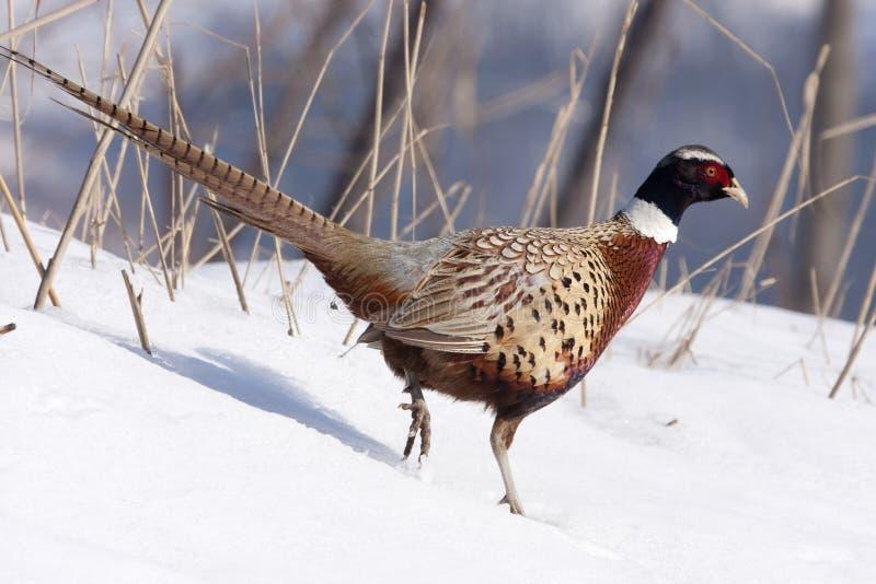 Het mannetje van de fazant royalty-vrije stock foto