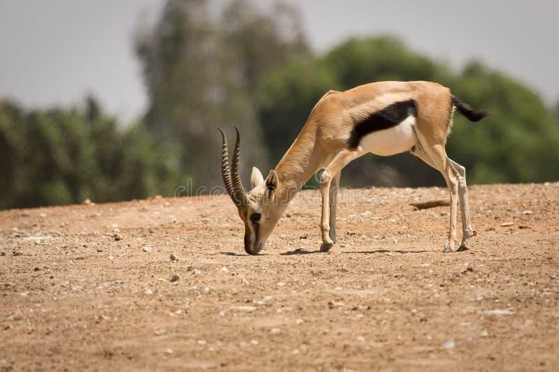 Het mannetje van de Gazelle van Thomson royalty-vrije stock afbeeldingen