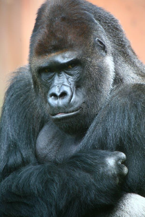 Het mannetje van de gorilla royalty-vrije stock foto's